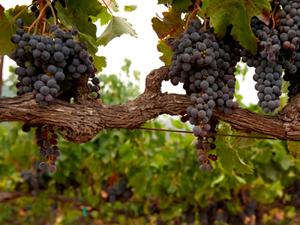 markham vineyard