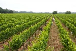 Sauvignon Blanc Vineyard Gamble Family Winery