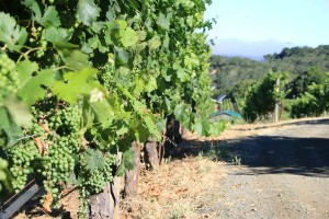 Biodynamic Farming Benzinger Winery